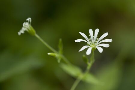 macro of a white , fragil forest flower, named Stellaria nemorum, with a blurred background