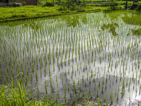 clouds reflect in an lush rice field in Ubud, Bali Stok Fotoğraf