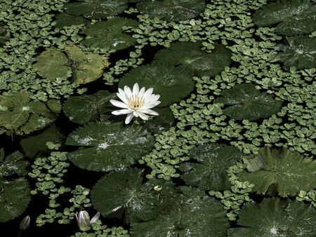 a white and pure lotus in water covered with lush green leaves