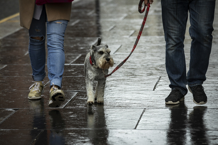a couple is walking a scotch terrier on a leash on a rainy day in Scotland Editöryel