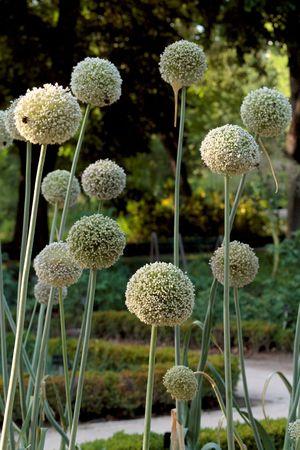 In Madrid Botanic Garden, round white flowers