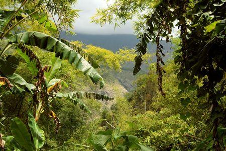 A view throughout a deep jungle, Reunion Island