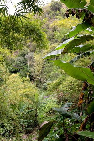 A forest of bamboos and banana trees, Reunion Island