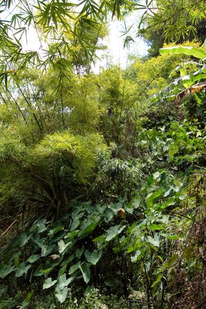 A forest of banana trees and bamboos, Reunion Island