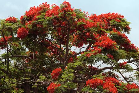 A red flowering tree, typical of tropical climate, Reunion island