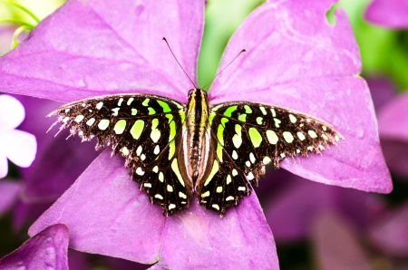 lepidopteran: green butterfly Stock Photo