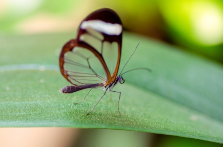 lepidopteran: butterfly on a leave