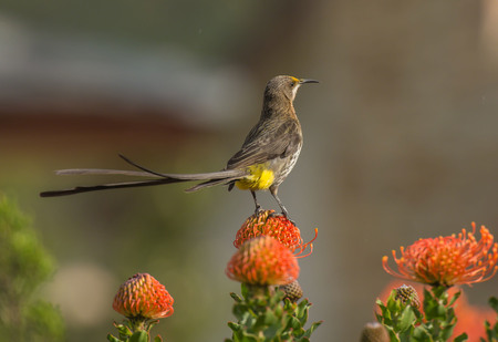 Cape Sugar bird, male,  Promerops cafer, on Pincushion Fynbos, South Africa 写真素材
