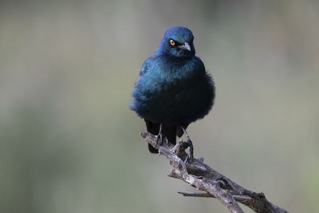 Cape Starling, Lamprotornis , sitting on branch with facing camera and showing yellow eye. Kruger National Park, South Africa