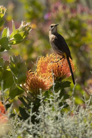 Cape Sugar bird, male, Promerops cafer , sitting upright on orange Pin Cushion Protea flower, head turned to right, Leucospermum cordifolium , South Africa