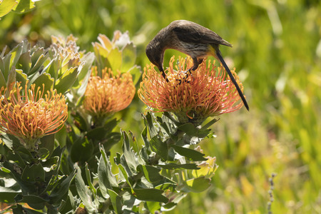 Cape Sugar bird, male, Promerops cafer , bending down to reach nectar on orange Pin Cushion Protea flower, Leucospermum cordifolium , South Africa