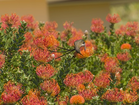 Cape Sugar bird, male,  Promerops cafer, sitting on Pincushion Fynbos, feeding from nectar. South Africa