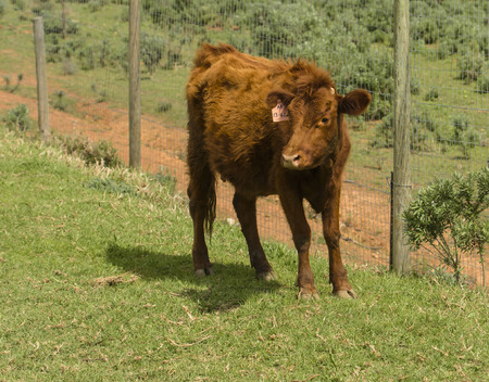 Red Dexter Cow, considered a rare breed, standing facing camera in green pasture, with fluffy winter coat.