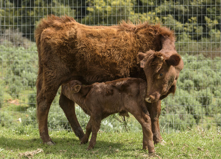 Close up of Red Dexter Cow, considered a rare breed, nudging her newly born calf to drink