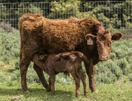Close up of Red Dexter Cow, considered a rare breed, with newly born calf drinking her milk