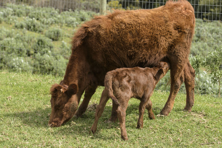 Close up of Red Dexter Cow, considered a rare breed, with calf drinking from her as she grazes on green grass