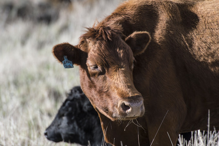 Close up of Red Dexter Cow, considered a rare breed, standing and looking to right with natural blurred background