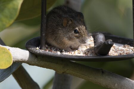 Rhabdomy or 4 striped mouse, eating bird seed from bird feeder, with seed visible on face South Africa Standard-Bild - 129323125