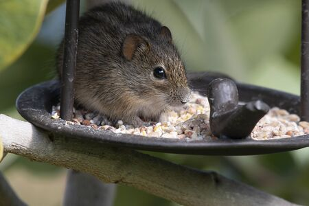 Rhabdomy or 4 striped mouse, eating bird seed from bird feeder. South Africa