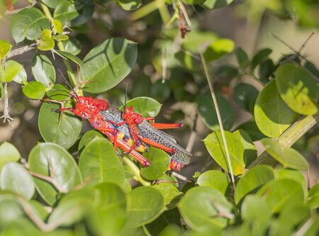 Mating Red Toxic Milkweed Grasshoppers on green bush