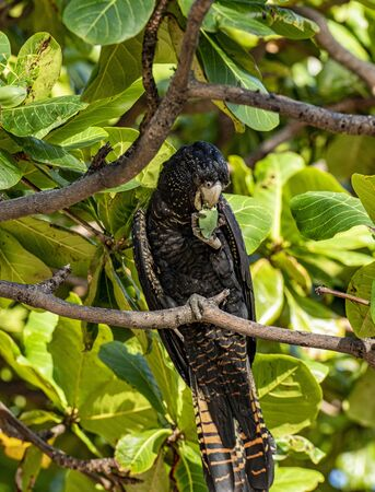 Portrait format of Red-tailed black cockatoo also known as Banksian- or Banks' black cockatoo, or Calyptorhynchus banksii. Holding tree nut in claw sitting in tree, red stripes in tail very visible Stockfoto