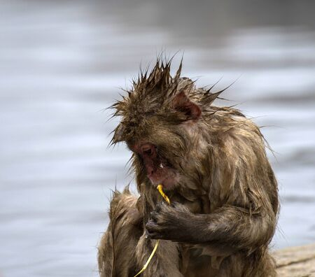 Baby Japanese macaque or snow monkeys, (Macaca fuscata), sitting on rock of hot spring, just after getting out of hot spring, with spikey hair and chewing piece of straw. looking left with sad face. Joshinetsu-Kogen National Park, Nagano, Japan
