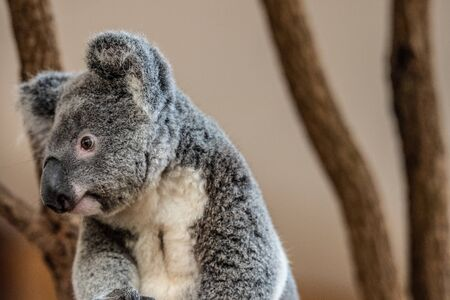 Close up of Koala Bear or Phascolarctos cinereus, sitting on top of tree branch looking left