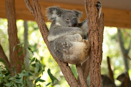 Close up of Koala Bear or Phascolarctos cinereus, sitting high up in branch and leaning back on another branch, looking to right