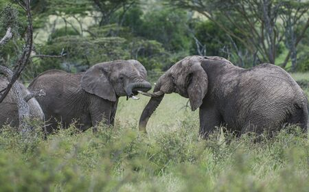 Two elephants,  or loxodonta africana, facing each other with ivory tusks locked in lush green grass, with blurred background. Masai Mara, Kenya