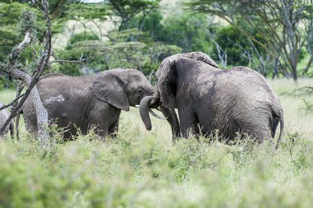 Two elephants,  or loxodonta africana, facing each other with trunks curled together, standing in lush green grass, with blurred background and foreground. Masai Mara, Kenya Фото со стока
