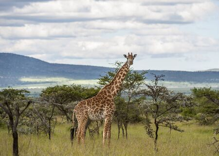 Giraffe walking to right facing camera, with blurred background of trees in landscape with mountains in background, Masai Mara, Kenya, Africa