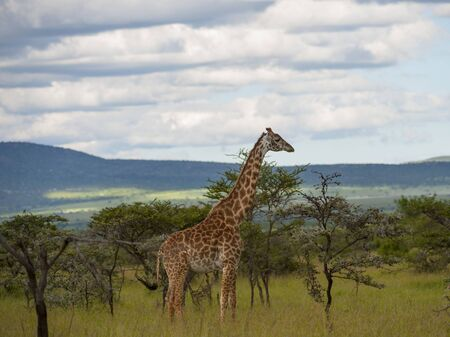 Giraffe walking to right with blurred background of landscapeand trees  with mountains in background, Masai Mara, Kenya, Africa