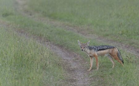 Black-backed Jackal, Canis mesomelas , standing still looking at camera, with bright eyes and ears pointed up, Masai Mara, Kenya, Africa Stock Photo