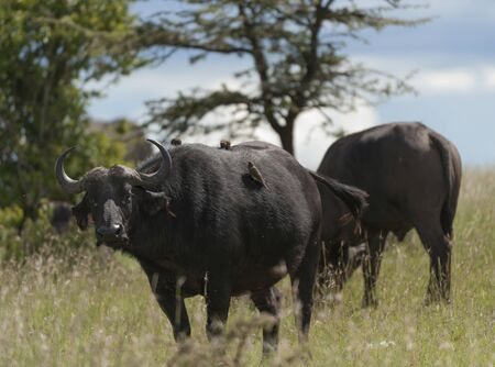 African Buffalo with several ox pecker birds on his back, standing in green grass with trees in background. Masai Mara, Kenya, Africa