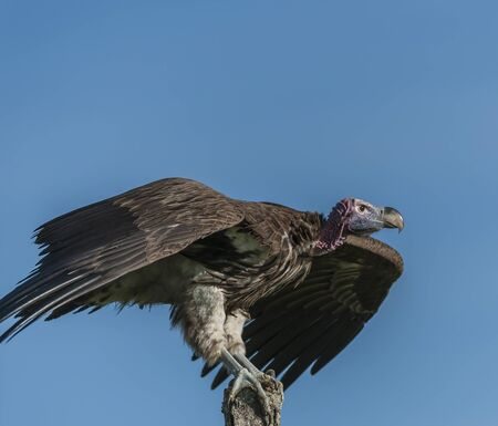Single Lappet-Faced Vulture, Torgos tracheliotus , sitting high on tree stump, ready to fly, with claws very visible, with blue sky in background, Masai Mara, Kenya, Africa