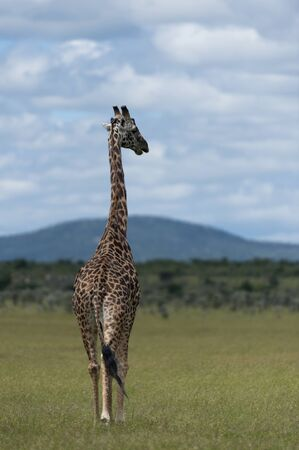 Giraffe walking away towards blue cloudy sky, with green grass in forefront, Giraffe has long tail. Masai Mara, Kenya, Africa