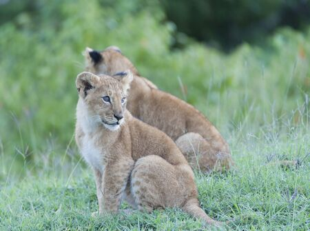 Lion cubs sitting side by side, one looking back with bright shiny eyes. sitting in lush green grass, Masai Mara, Kenya, Africa