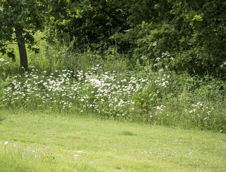 Wild fowers of spring and summer, daisies, in border of freshly cut grass
