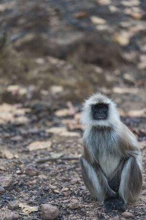 Gray langur, Semnopithecus , sitting on road, facing camera with white whiskers, and blurred background. Kahna National Park, India