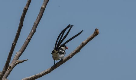 Pin-tailed whydah ( Vidua macroura ), sitting on branch with black back and crown, and upright long black tail. Showing promient red beak, against blue sky