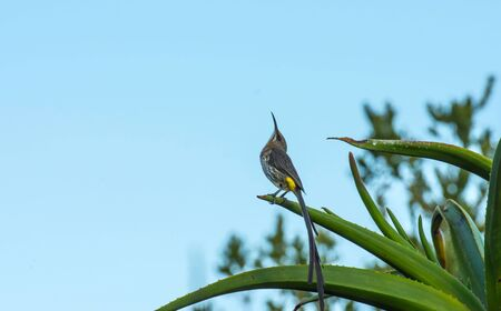 Cape sugar bird, promerops cafe , sitting on aloe plant and looking up at blue sky. Yellow rump visible. Elgin Rdge Wine Estate, South Africa 写真素材
