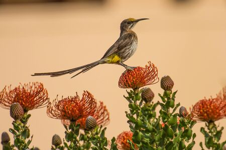 Cape Sugar bird, male, Promerops cafer, sitting on Pincushion Fynbos looking right and leaning back, South Africa