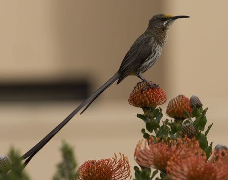 Cape Sugar bird, Promerops cafer , sitting on Orange Pincushion Fynbos looking right with long tail showing, South Africa