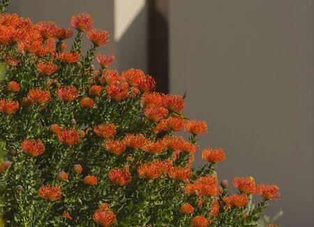 Orange Pinchusion protea in bloom, Leucospermum , South Africa