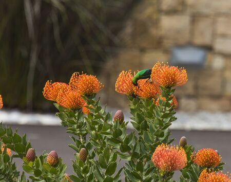 Orange Pinchusion protea in bloom, Leucospermum , with Malachite bird. South Africa