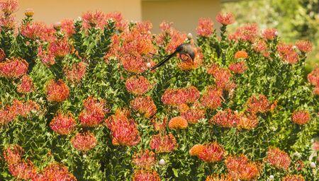 Orange Pinchusion protea in bloom, Leucospermum , with Cape Sugar bird drinking nectar, South Africa