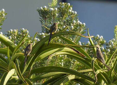 Cape Sugar Bird with Speckled Mousebird, Colius striatus , sitting on Aloe vera plant, with blue sky in background, South Africa