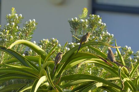 Speckled Mousebird, Colius striatus , with Cape Sugar Bird, sitting on Aloe vera plant, with blue sky in background, South Africa