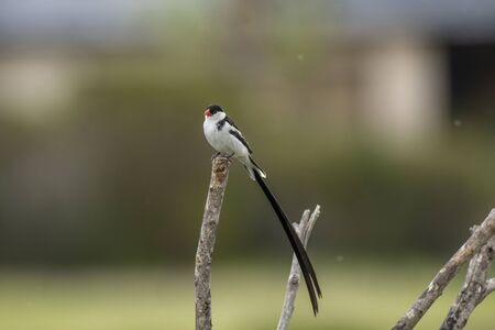 Pin-tailed whydah ( Vidua macroura ), with black back and crown, and a very long black tail. Sitting high on branch showing prominent red beak, against blurred background 写真素材