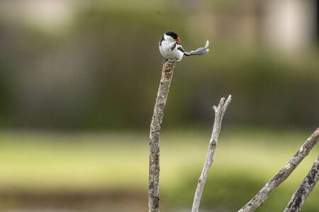 Pin-tailed whydah ( Vidua macroura ), head looking to right, and long black upright tail. Sitting high on branch showing prominent red beak, against blurred background 写真素材